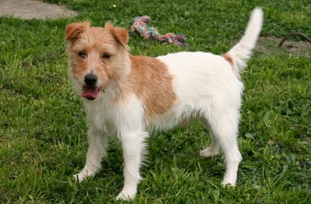 Parson Russell Terrier Zuchtrüde Lucky