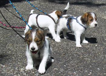 Parson Russell Terrier Zucht Ausflug mit Bus und Zug
