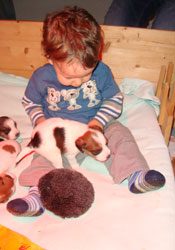 Parson Russell Terrier Welpen im Stall