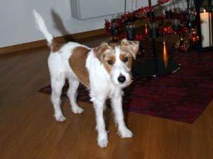 Parson Russell Terrier Zucht